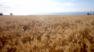 Aerial: Yellow field of wheat, blue sea. Summer morning video