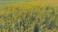 Aerial :Yellow flower field video