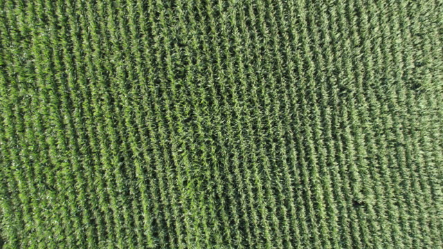Aerial zoom out of irrigated corn fields video