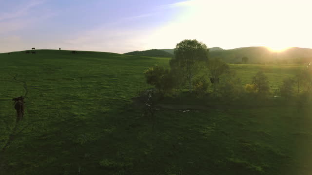Aeriel view of cows grazing in the field video