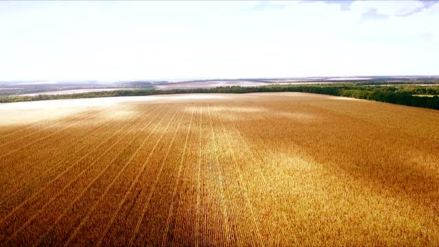 aero : cloudy sky over golden field of corn - aerial photo video
