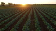 Aero Flight over the cabbage field in sunset video