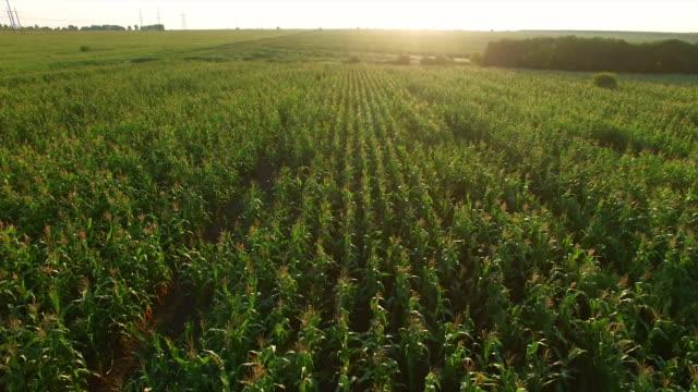 Aero Flight over the corn field in sunset video
