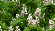Aesculus horse chestnut tree blooms and bees collect nectar. video