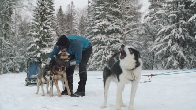 Affectionate musher stroking sled dogs video