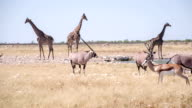 WS African Animals By The Waterhole video