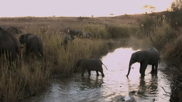 African baby elephant walking with herd through river video