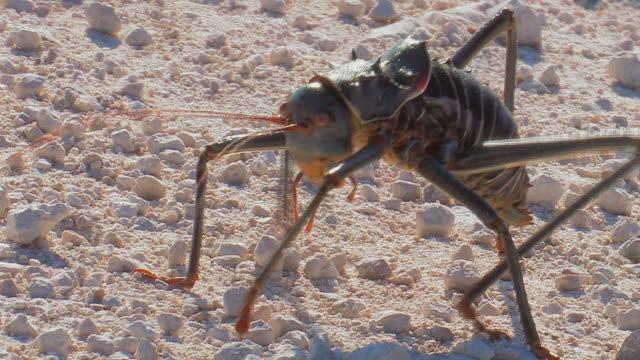 African Beetle - Kaefer_Grille video