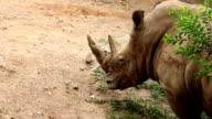 African Black Rhinoceros in the Dirt video