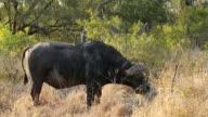 African buffalo bull video