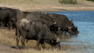 African buffalo drinking video