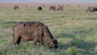 african buffalo with birds on his back video