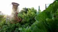 African business woman harvesting herbs at dawn video