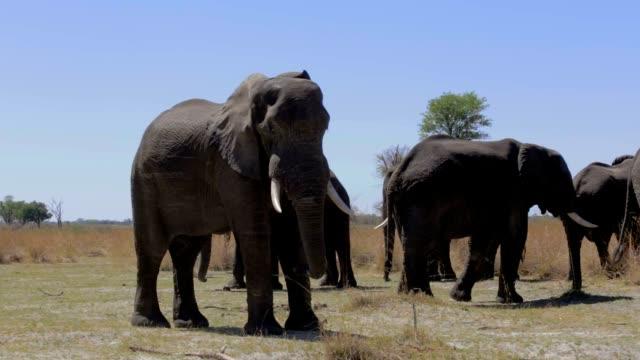 African elephant Africa safari wildlife and wilderness video