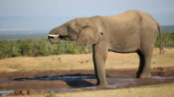 African elephant at waterhole video