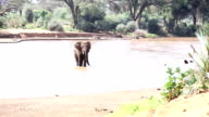 African Elephant at wild video