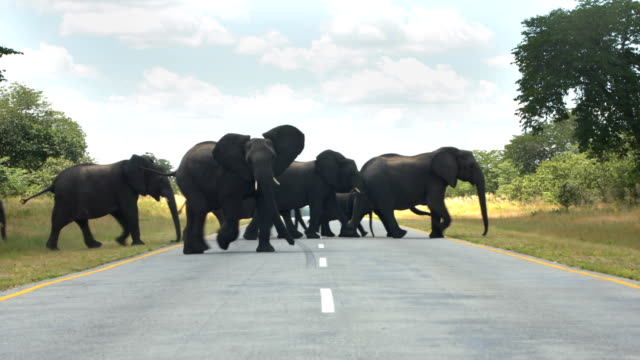 African elephant family crossing road video