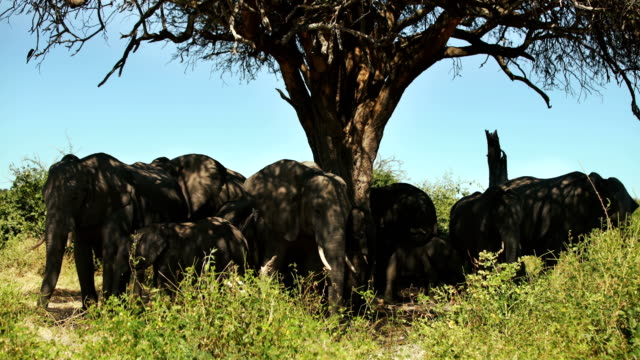 African elephant family herd video