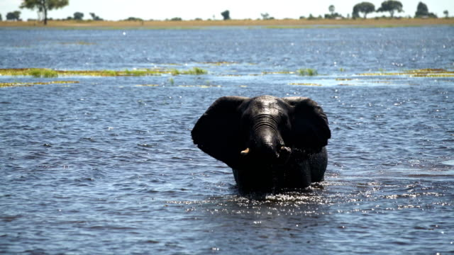 African elephant family herd water fun video