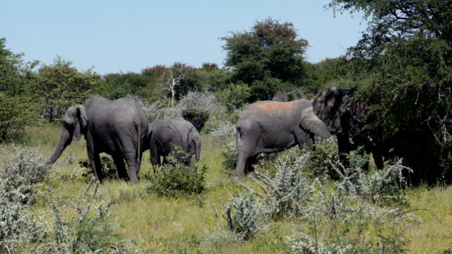 African elephant family video