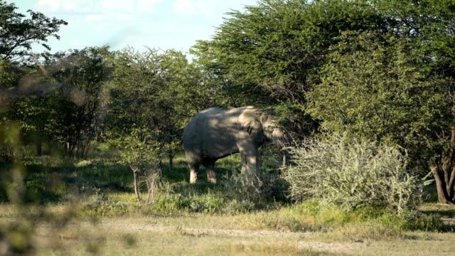 African elephant feeding in a bush video