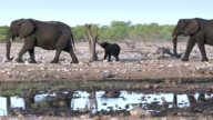 African Elephant video