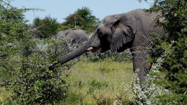 African elephant video