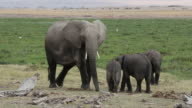 African elephant with young calves video