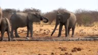African elephants at a muddy waterhole video