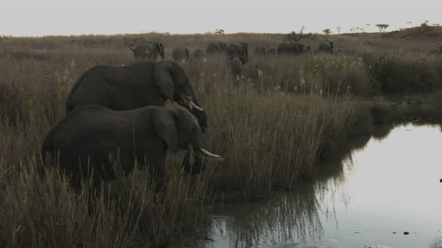 African elephants eating with herd on the move. video