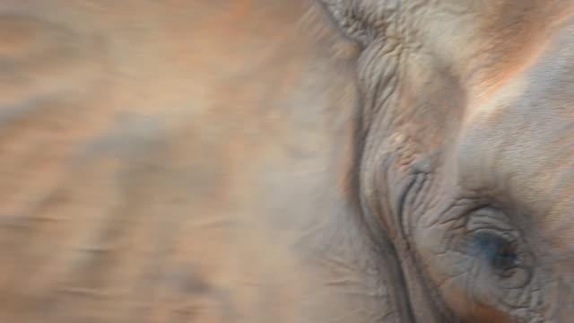 African elephants head video