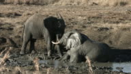 African elephants in a tussle video