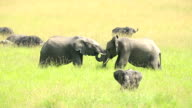 African Elephants loving / playing at wild video
