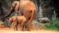 African elephants video