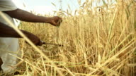 HD: African Farmer Reaping Wheat video