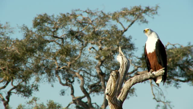 African Fish Eagle video