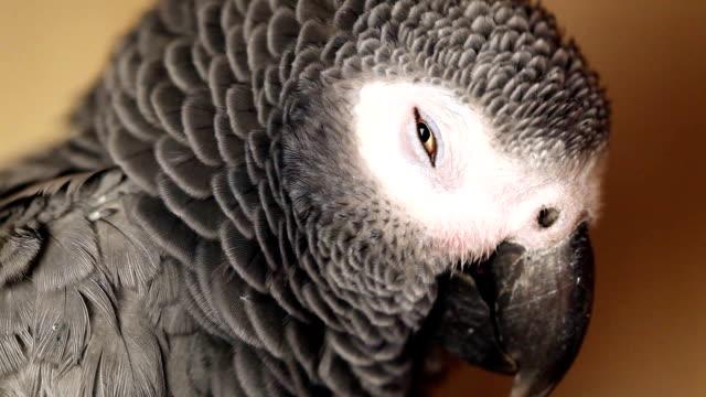 African Grey Parrot video