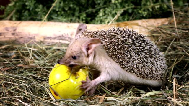 African hedgehog eating an apple video