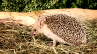 African hedgehog in the grass video
