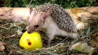 African hedgehog with apple video