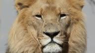 African lion portrait video