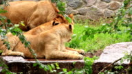 African lions video