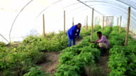African mentor and his agriculture apprentice inspect crop video