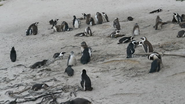 African Penguin colony at Boulders Bay on the southern coastline of South Africa. video