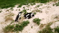 African Penguins Mating video