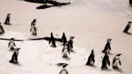 African Penguins on beach video