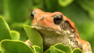 African Red Toad video