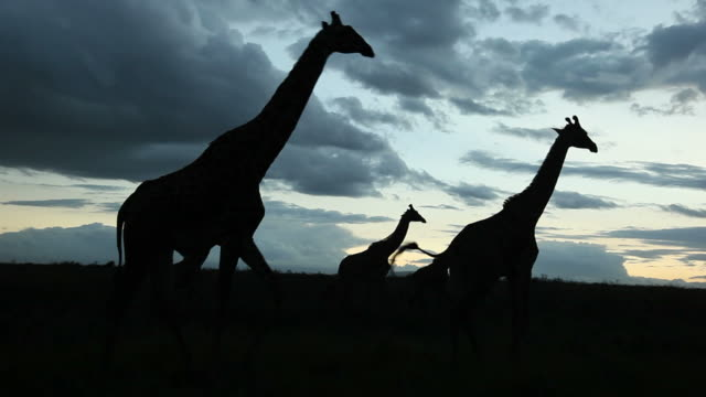 African scene: Giraffes crossing frame video