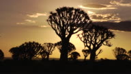 African Sunset with Quiver Trees video