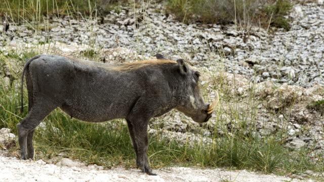 African warthog video